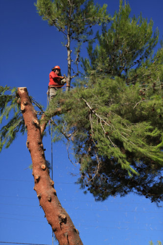 A strong man climbs a huge pine tree to remove all the branches
